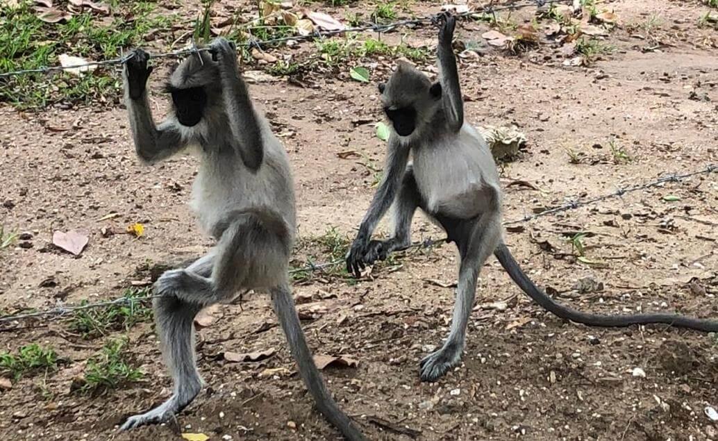 opice v Polonnaruwě