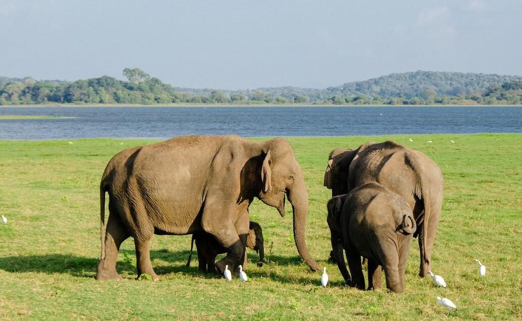 sloni v národním parku Minneriya