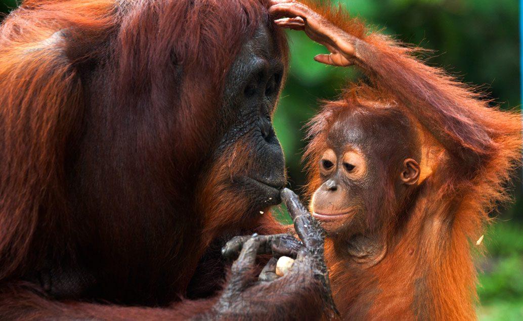 Orangutani na Sumatře a domorodé kmeny na Sulawesi